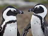 African Penguin (Spheniscus Demersus) Pair  Simon&#39;s Town  South Africa  Africa