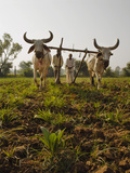 Young Tobacco (Nicotiana) Plants with Traditional Plough and Cattle (Ankole-Watus)  Gujarat  India