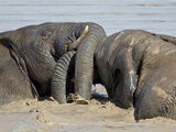 Two African Elephant (Loxodonta Africana) Playing in the Water  Addo Elephant National Park  South