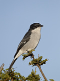 Fiscal Flycatcher (Sigelus Silens)  Addo Elephant National Park  South Africa  Africa
