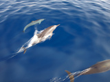 Dolphins  Maldives  Indian Ocean  Asia