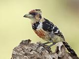 Crested Barbet (Trachyphonus Vaillantii)  Kruger National Park  South Africa  Africa