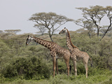 Two Masai Giraffe (Giraffa Camelopardalis Tippelskirchi)  Serengeti National Park  Tanzania  East A