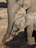 African Elephant (Loxodonta Africana) Adult Supporting a Baby Drinking  Addo Elephant National Park