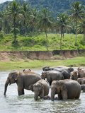 Asian Elephants Bathing in the River  Pinnawela Elephant Orphanage  Sri Lanka  Indian Ocean  Asia
