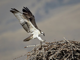 Osprey (Pandion Haliaetus) Landing on its Nest  Lemhi County  Idaho  United States of America  Nort