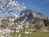 Almond Tree (Prunus Dulcis) in Bloom and the Puig De S'Alcadena Beyond  Alaro  Mallorca  Balearic I