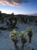 Joshua Trees at Sunset in Joshua Tree National Park  California  United States of America  North Am