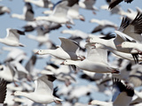 Flock of Snow Goose (Chen Caerulescens) Blasting Off  Bosque Del Apache National Wildlife Refuge  N