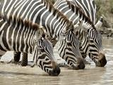 Three Common Zebra (Burchell's Zebra) (Equus Burchelli) Drinking  Ngorongoro Crater  Tanzania  East