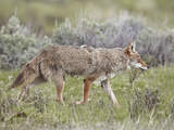 Coyote (Canis Latrans)  Yellowstone National Park  UNESCO World Heritage Site  Wyoming  United Stat