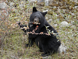 Black Bear (Ursus Americanus) Cub Eating Canadian Gooseberry Berries  Jasper National Park  Alberta