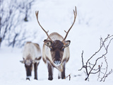 Young Reindeer (Rangifer Tarandus) Grazing  Kvaloya Island  Troms  North Norway  Scandinavia  Europ