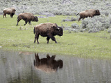 Bison (Bison Bison) Reflected in a Pond  Yellowstone National Park  UNESCO World Heritage Site  Wyo