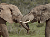 Two African Elephant (Loxodonta Africana) Face to Face  Addo Elephant National Park  South Africa  