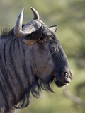 Blue Wildebeest (Brindled Gnu) (Connochaetes Taurinus)  Imfolozi Game Reserve  South Africa  Africa