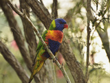 Rainbow Lorikeet  Tyto Wetlands  Ingham  Queensland  Australia  Pacific