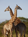 Two Male Cape Giraffe (Giraffa Camelopardalis Giraffa)  Imfolozi Game Reserve  South Africa  Africa