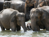 Asian Elephants Bathing in the River  Pinnawela Elephant Orphanage  Sri Lanka  Asia