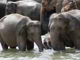 Asian Elephants Bathing in the River  Pinnawela Elephant Orphanage  Sri Lanka  Asia