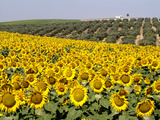 Sunflower Field Near Cordoba  Andalusia  Spain  Europe
