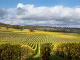 View over Autumn Vines at Denbies Vineyard  Near Dorking  Surrey  England  United Kingdom  Europe