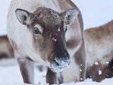 Young Reindeer (Rangifer Tarandus) Grazing  Kvaloya Island  Troms  North Norway  Scandinavia  Europ