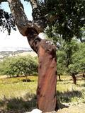 Cork Oak  Grazalema  Sierra De Zafalgar  Andalusia  Spain  Europe