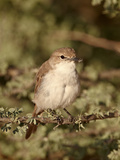 Marico Flycatcher (Bradornis Mariquensis)  Kgalagadi Transfrontier Park  Encompassing the Former Ka