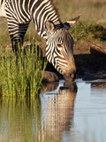 Cape Mountain Zebra (Equus Zebra Zebra) Drinking  Mountain Zebra National Park  South Africa  Afric