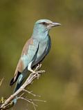 European Roller (Coracias Garrulus)  Kruger National Park  South Africa  Africa