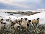 Sheep Waiting to Be Fed in Winter  Lower Pennines  Cumbria  England  United Kingdom  Europe