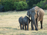 Mother and Baby Asian Elephants at Minneriya National Park  Sri Lanka  Asia