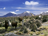 Llamas Grazing in Sajama National Park with the Twins, the Volcanoes of Parinacota and Pomerata in  Papier Photo par Mark Chivers