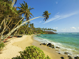 Palm Trees at the Eastern End of the South Coast Whale Watch Surf Beach at Mirissa  Near Matara  So