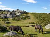 Dartmoor Ponies  Bonehill Rocks  Dartmoor National Park  Devon  England  United Kingdom  Europe