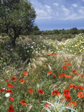 Spring Flowers  Akrotiri Peninsula  Chania Region  Crete  Greek Islands  Greece  Europe