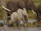 Baby African Elephant (Loxodonta Africana)  Serengeti National Park  Tanzania  East Africa  Africa
