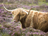 Highland Cow Grazing Among Heather Near Drinan  on Road to Elgol  Isle of Skye  Highlands  Scotland