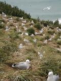 Royal Albatross Centre  Dunedin  Otago Peninsula  South Island  New Zealand  Pacific