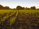 Young Sugar Cane Crop (Saccharum Officinarum) in Field at Sunset  Saijpur Ras  Gujarat  India  Asia