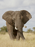 African Elephant (Loxodonta Africana)  Kruger National Park  South Africa  Africa