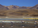 Flamingos Drinking in a Lagoon  South West Bolivia  South America