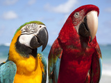 Colourful Parrots  Punta Cana  Dominican Republic  West Indies  Caribbean  Central America