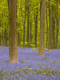 Bluebells Beneath Trees  West Woods  Wiltshire  England  United Kingdom  Europe