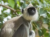 Grey (Hanuman) Langur Monkey in This Sacred Pilgrimage Town  Often Seen Begging at Temples  Katarag