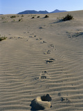 Footprints Through Sand Dunes  Near Corralejo  Fuerteventura  Canary Islands  Spain  Europe