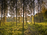 The Morning Light Through a Plantation of Plane Trees in the Indre-Et-Loire  Loire Valley  France