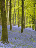 Bluebells  Delcombe Wood  Dorset  England  United Kingdom  Europe
