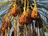 Date Palms  Douz  Kebili  Tunisia  North Africa  Africa